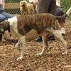 BANNER (plott hound mix) 4