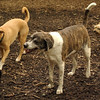 BANNER (plott hound mix) 6
