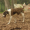 BANNER (plott hound mix) 3
