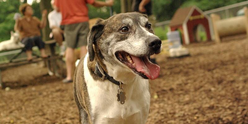 BANNER (plott hound mix) 2