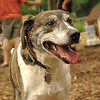 BANNER (plott hound mix) 2
