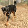 BEAU (rottweiler w  tail)_2