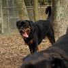 BEAU (rottweiler w  tail)_1