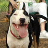 BUD (bull terrier boy)_1