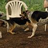 CALI, LULU (hounds)_8