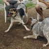 CALI, LULU (hounds)_4