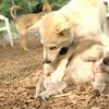 BELA (cairn), LUCAS (collie pup)_3