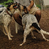 CALI, LULU (hounds)_1