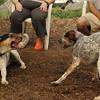 CALI, LULU (hounds)_7