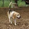 CARLEY (beagle)_2