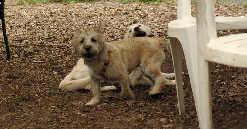 BELA (cairn), LUCAS (collie pup)_1