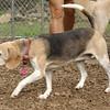 CARLEY (beagle)_1