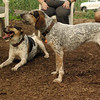 CALI, LULU (hounds)_6