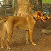 BUFFY (ridgeback, girls)_1