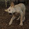 Lucas (collie pup)_3