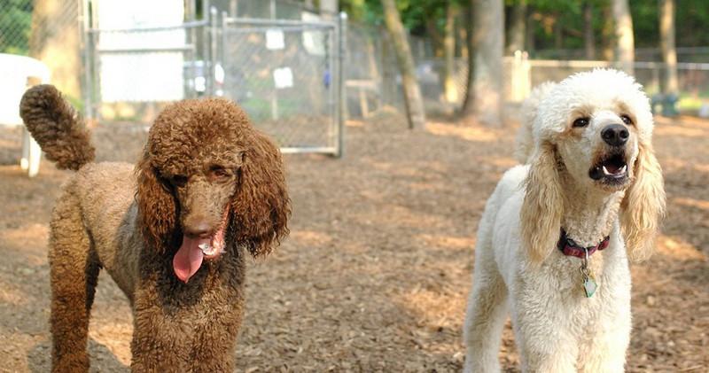 Ethel, Lucy (poodles)_2