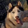 ZACK (huskey)_5