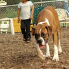 RUBY (pup, boxer)_1