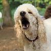 Ethel (poodle) 2