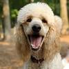 ETHEL (poodle)