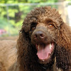 LUCY (poodle, chocolate)_2