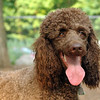 LUCY (poodle, chocolate)_4