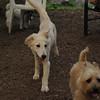 Lucas (collie pup)_2