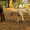 Ethel, Lucy (poodles)_3