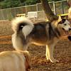 ZACK (huskey)_1