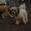 LUCAS (bijon shitzhu mix, pup)_1