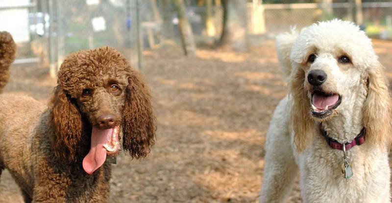 Ethel, Lucy (poodles)_1