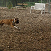 RUBY (pup, boxer)_2