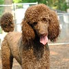 LUCY (poodle)
