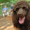 LUCY (poodle, chocolate)_7