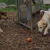 Lucas (collie pup)_1