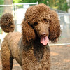 LUCY (poodle, chocolate)_3