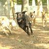 Harvey (stick chase)(07-13)