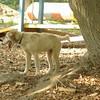 LUCAS (collie pup)_4