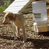 LUCAS (collie pup)_6