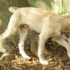 LUCAS (collie pup)_5