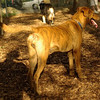 MAGGIE (brindle pup)_3