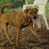 MAGGIE (brindle pup)_2