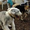 Maddie, EMMA (sheepdog)_3