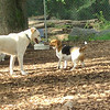 RUDY, Chelsea (beagle)_1