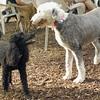 JET, MIA (sheepdog)_1