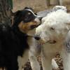 Oliver, EMMA (sheepdog)_2