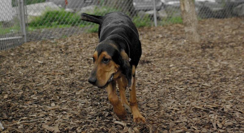 Sammy (coonhound pup)_1