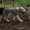 Mia, Emma (Sheepdogs)_4