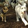 Maddie, EMMA (sheepdog)_1