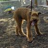 DUFFY (irish terrier pup)_4